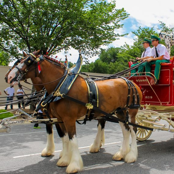 Clydesdales at Merrimack, NH Bud Plant